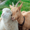 Owce i kozy