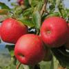 Liście i owoce